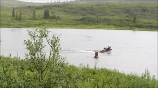 Alaska - Bear Chasing Moose - Denali National Park