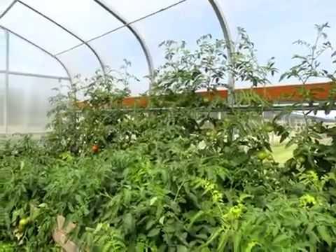 Tomatoes: Indeterminate, Determinate & Semi Determinate