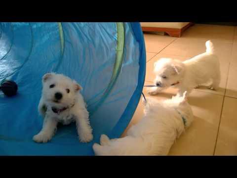 Westie Puppies West Highland White Terrier 5/2016