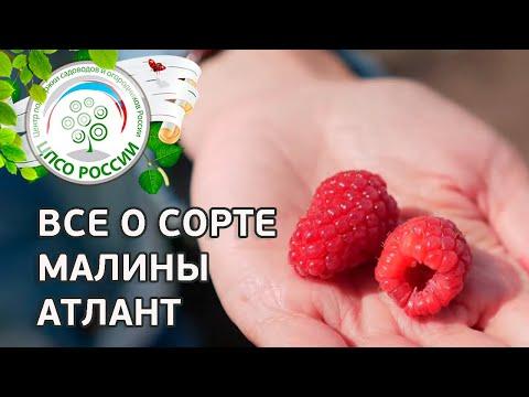 Сорт малины Атлант.  Ремонтантная малина Атлант, описание и особенности сорта. | ремонтантная | выращивание | вырастить | открытый | посадка | агроном | сажать | россии | огород | малина