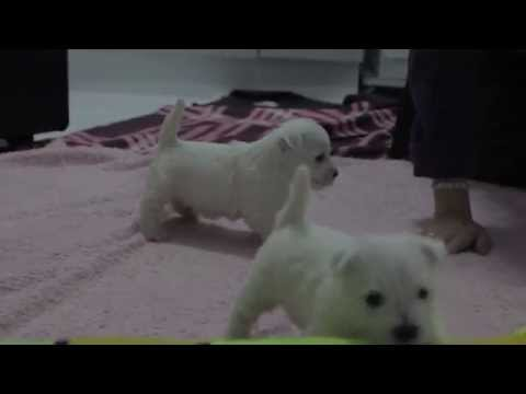 Litter R Nibheis Kennel West Highland White Terrier