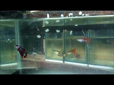 Bolehkah Mencampur Ikan Cupang Dengan Ikan Hias Air Tawar Yang Lain Youtube