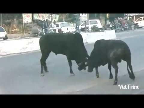 indian bull vs foriegn bull