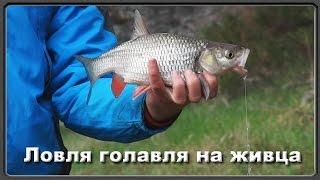 Ловля голавля на живца (рыбалка на весеннем сплаве)