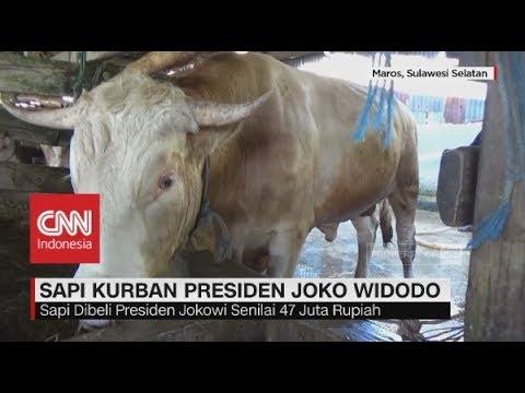 Ini Nih Sapi Kurban Milik Presiden Jokowi, Berat Nyaris 1 Ton, Idul Adha 2018