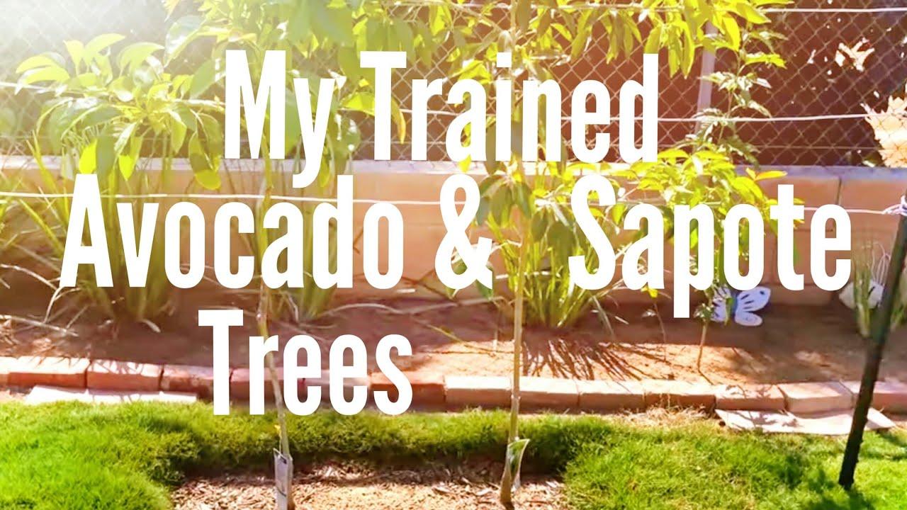 High Density Espalier Gardener - Avocado & Sapote 10-14-13