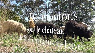 Des moutons sous le château de Saint-Germain-en-Laye
