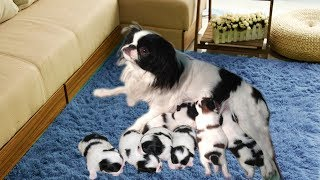 Japanese Chin family happy to welcome many new members