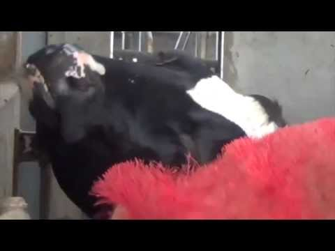 Video: These bristly, motorised back-scratchers are the perfect way to have happy, healthy cows