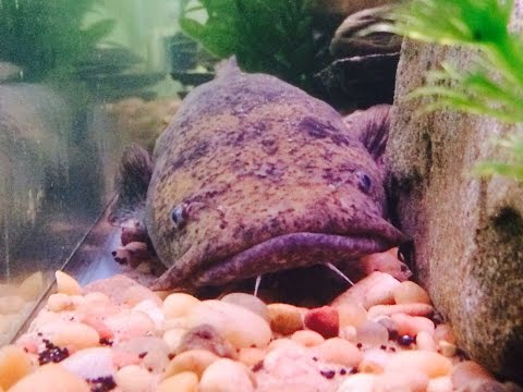 Feeding My Flathead Catfish Nightcrawlers