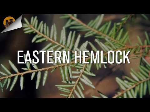 Eastern Hemlock [Plant ID Guide]