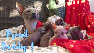 Sphynx Cat DADDY is Very Proud of His Cute KITTENS