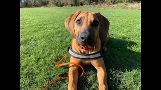 Boo the Rhodesian Ridgeback Puppy - 4 Weeks Residential Dog Training