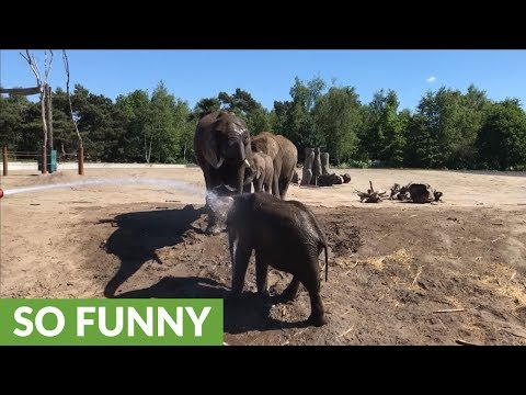 Elephant calf loves to be sprayed with garden hose