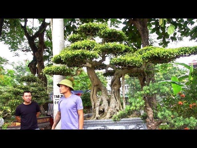 Hội chợ cây cảnh Đông Anh, 300 nghìn là có cây đẹp - bonsai market in Dong Anh