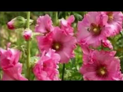 Растение Алтей армянский (лат. Althaea Armeniaca)