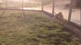 Pit bull ( dog)