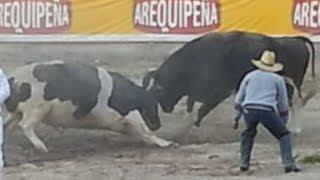 Cerro Negro vs. Alazán (21/12/13). Pelea de Toros en Socabaya (Arequipa)
