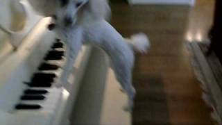 Poodle Coco Playing Piano Trick