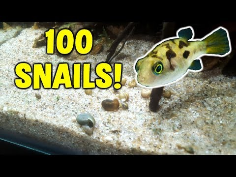 FEEDING 100 SNAILS To MINI Puffer Fish Tank
