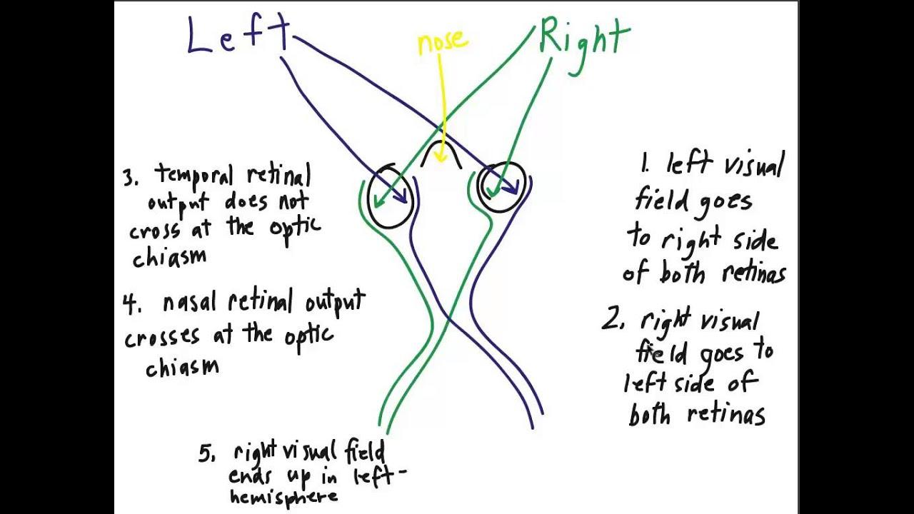 visual pathway - Yeni.mescale.co