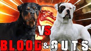Rottweiler vs American Bulldog | American Bulldog vs Rottweiler | Powerful Guard Dog | Billa Boyka |