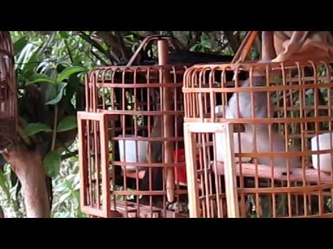 hoa mi chien 2 nam long va hoa mi bach tang( thong nong - cao bang)