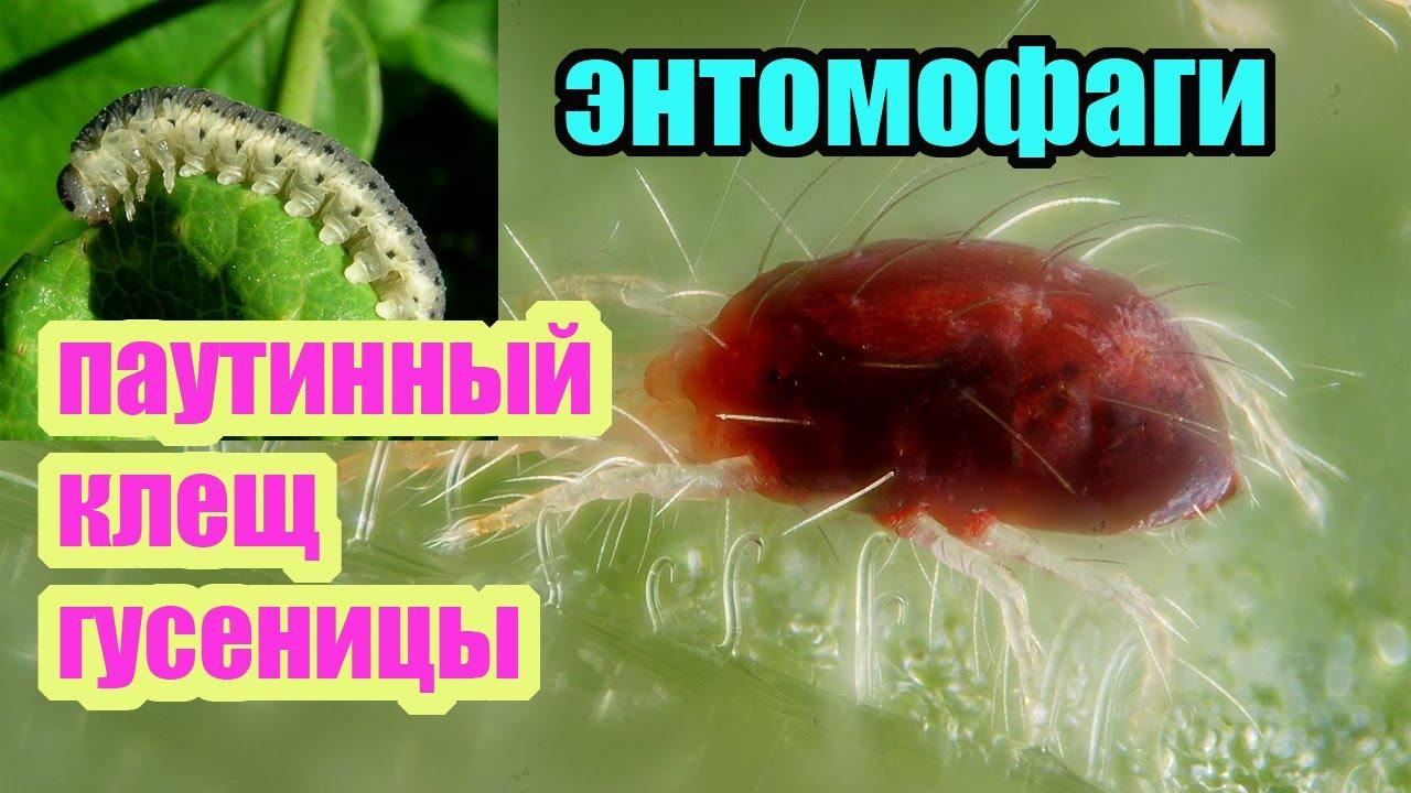 Клещи и гусеницы на малине и ежевике. Главные вредители ...