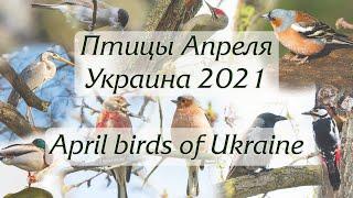 Птицы апреля. Украина 2021 / April birds of Ukraine