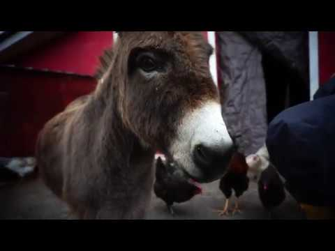 How to clean a donkey's hooves