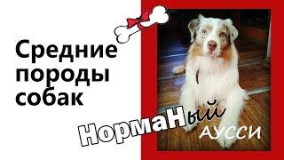 Средние породы собак Аусси