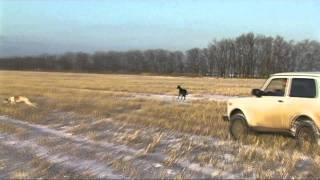 Охота с Грейхаундами на зайцев