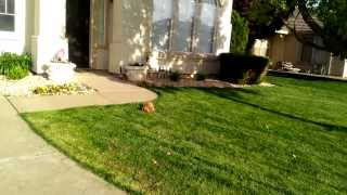 Yuzu Ruby Cavalier King Charles Spaniel Puppy Play Time 12 Weeks Old