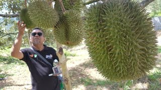 Bumper harvest, so Karak orchard throws a durian party