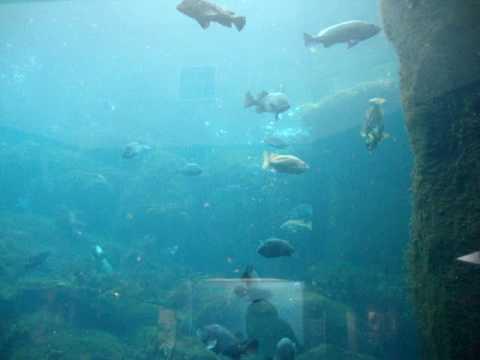 Feeding Time at Alaska SeaLife Center Aquarium, with Pigeon Guillemots.MPG