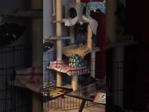 BamBob Cat opening Christmas Present
