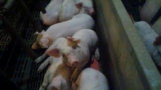 JBS corta contrato com empresa americana após vídeo de maus-tratos a porcos. Assista!
