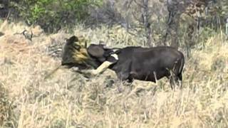 Mapogo Lion Take Down
