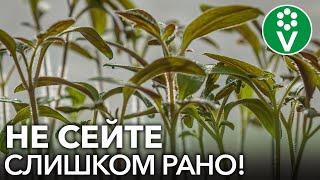КОГДА СЕЯТЬ ТОМАТЫ И ПЕРЦЫ В 2021 ГОДУ? Не спешить сеять слишком рано! Опасности раннего посева