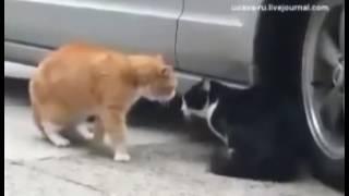 Жена кошка и жених кот