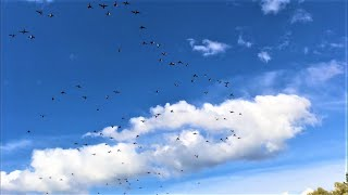 ОЧЕНЬ МНОГО УТКИ. Удачная охота на утку 2020. Результативне полювання на качку. Duck hunting 2020