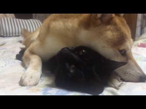 猫が好きすぎて離したくない柴犬 dog and cat are best friend
