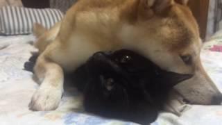 猫が好きすぎて離したくない柴犬 dog and cat are best friend thumbnail