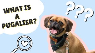 WHAT IS A PUGALER? || Want a Pug x Cavalier? Things to Know!