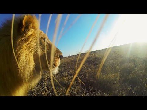 Lion picks up GoPro, creates best 1-minute nature documentary