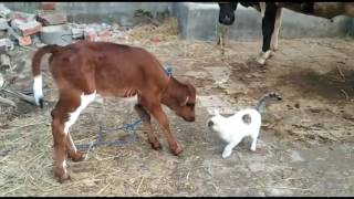 Cat Love With Cow and Cow's Babies