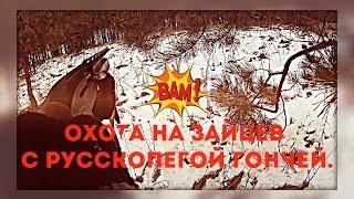 Взял двух зайцев с Русской пегой гончей