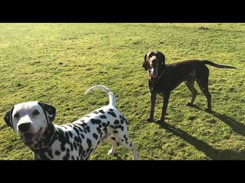 two dalmatians and german short haired pointer