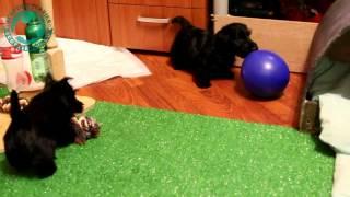 Щенки скотч-терьера с шариками