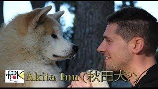 L'akita chiamato anche Akita Inu (秋田犬?) è una razza giapponese d...